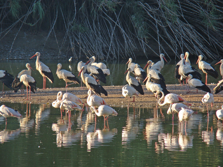 Flamencos y cigueñas, storks & flamingos  Donana